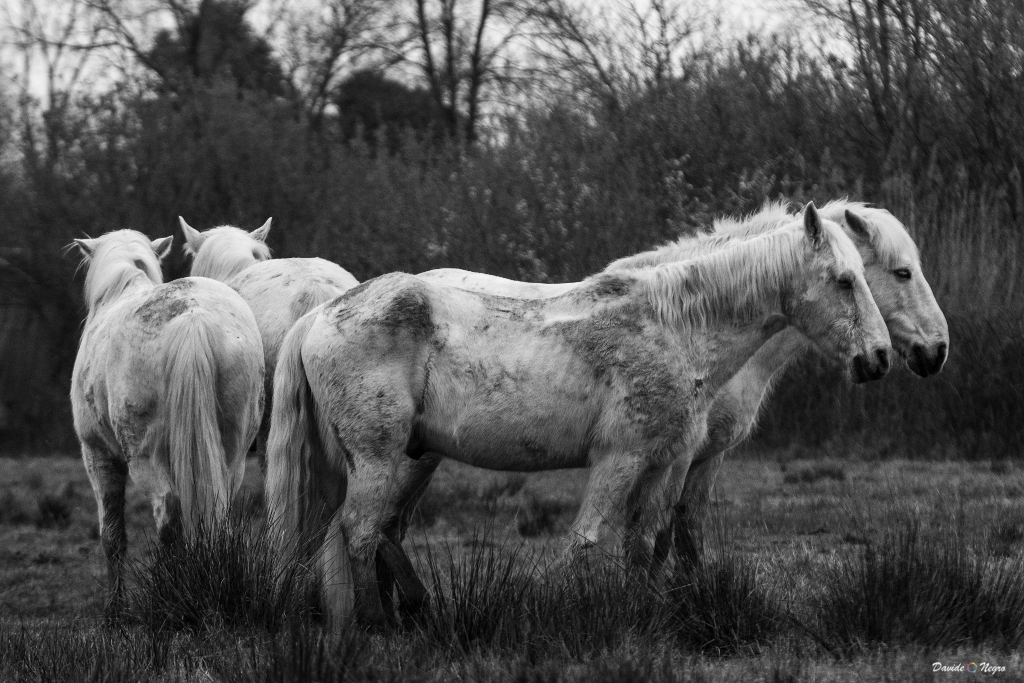 cavalli bianchi by DavideNegro