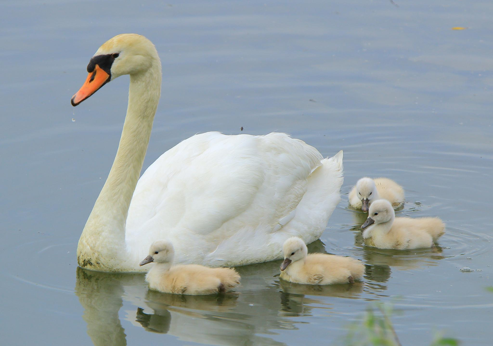 Mom and cygnets by Ricky Wong