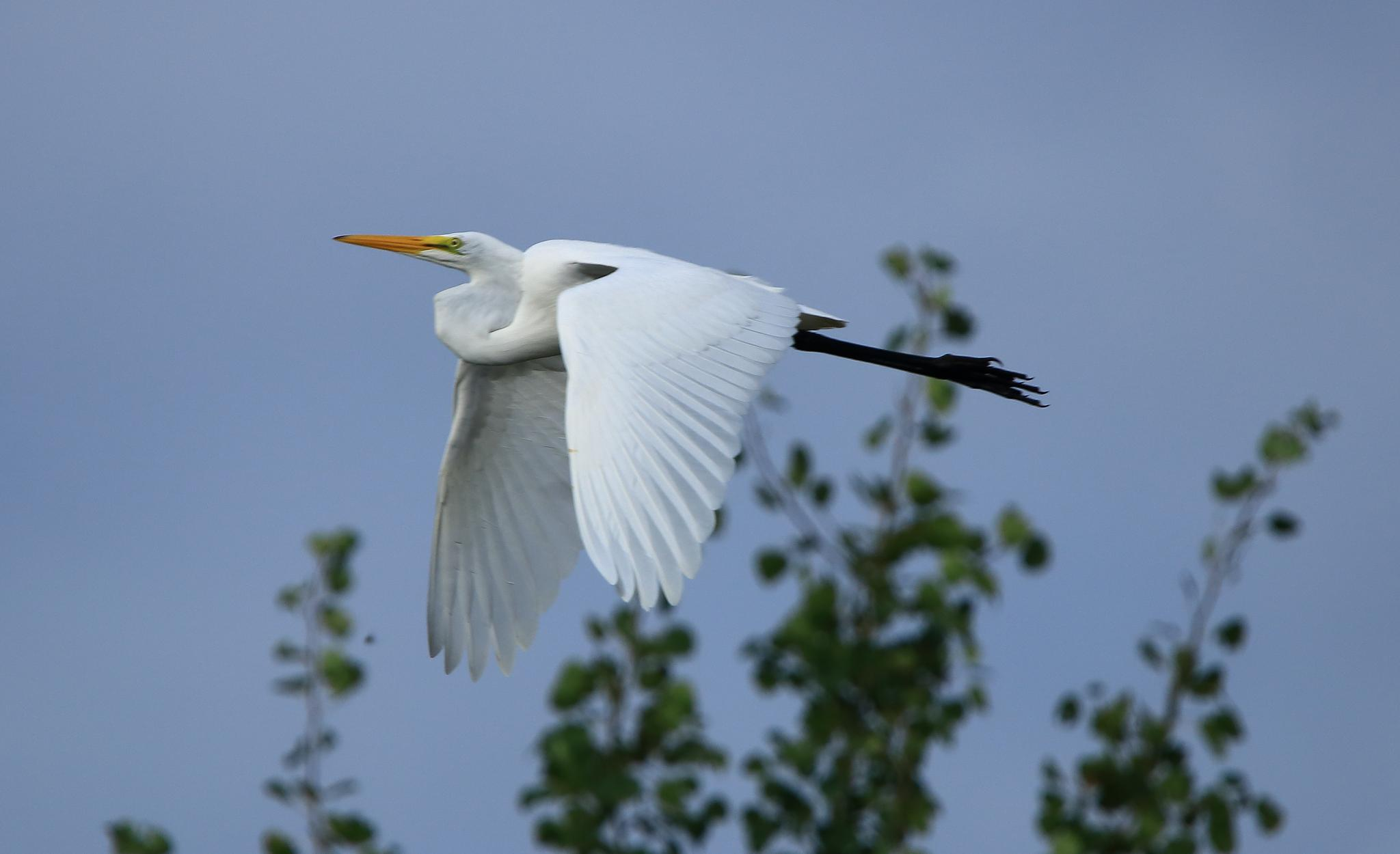 Great Egret in flight by Ricky Wong