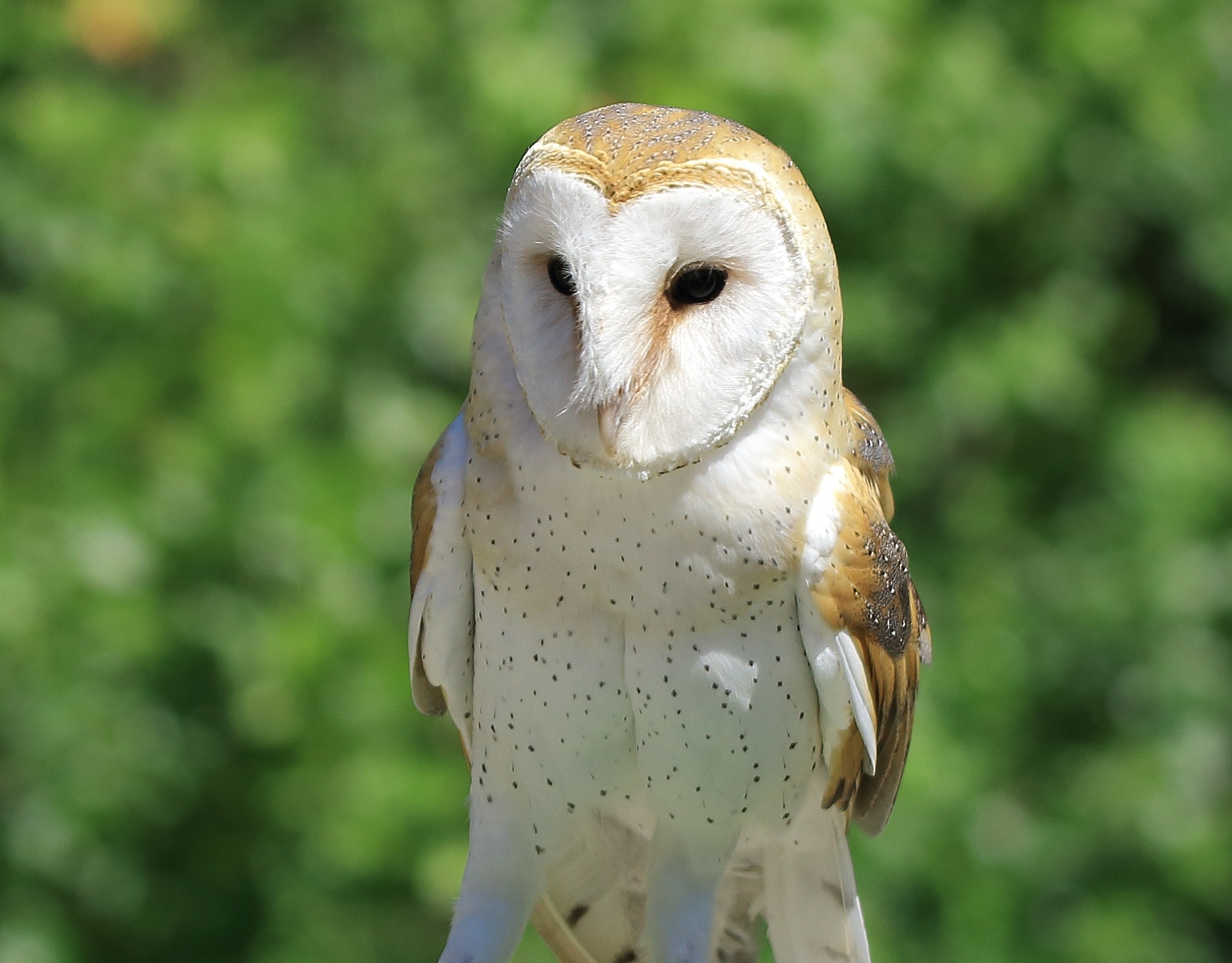 Barn Owl by Ricky Wong