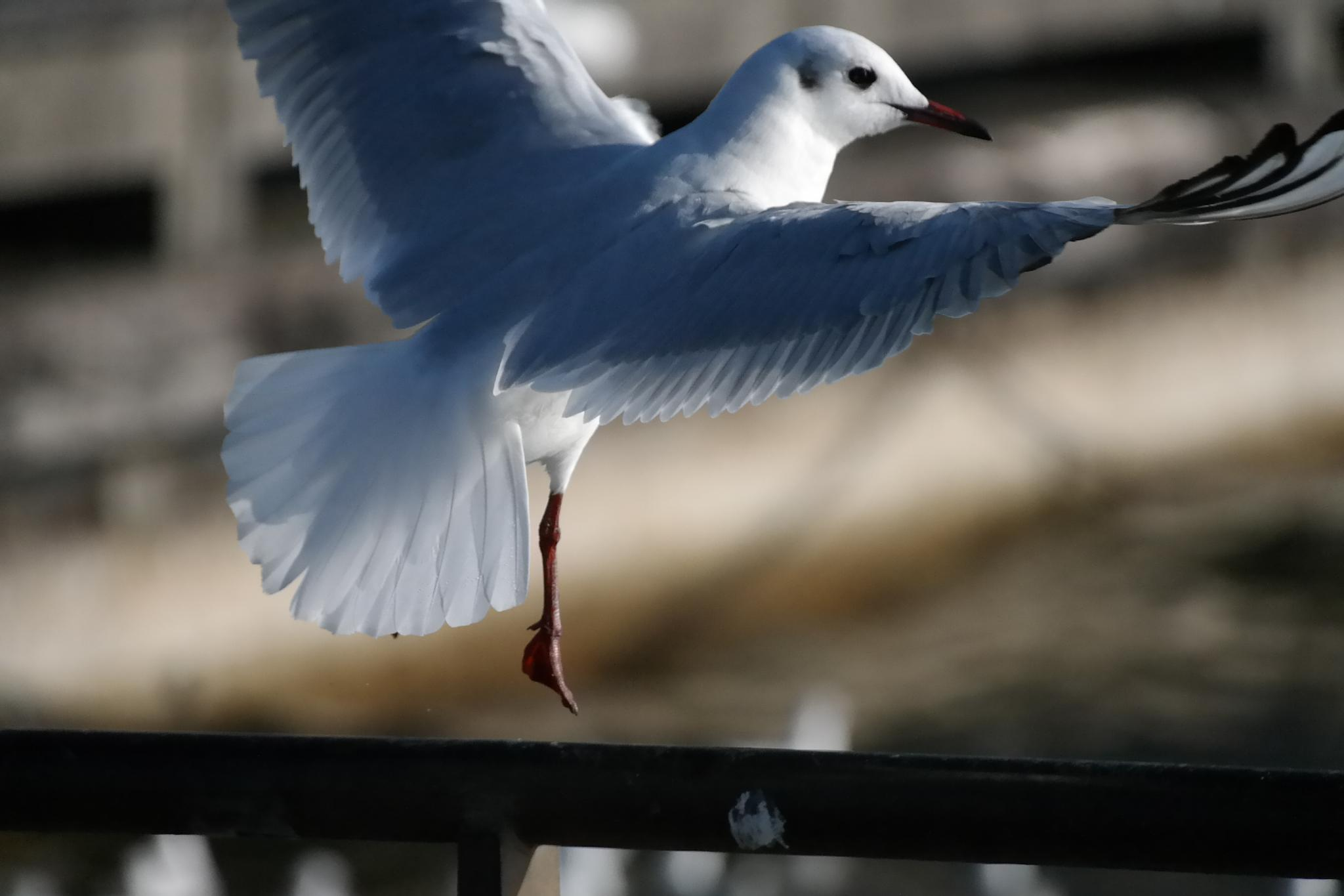 gull while landing by Chillotti Alessandro