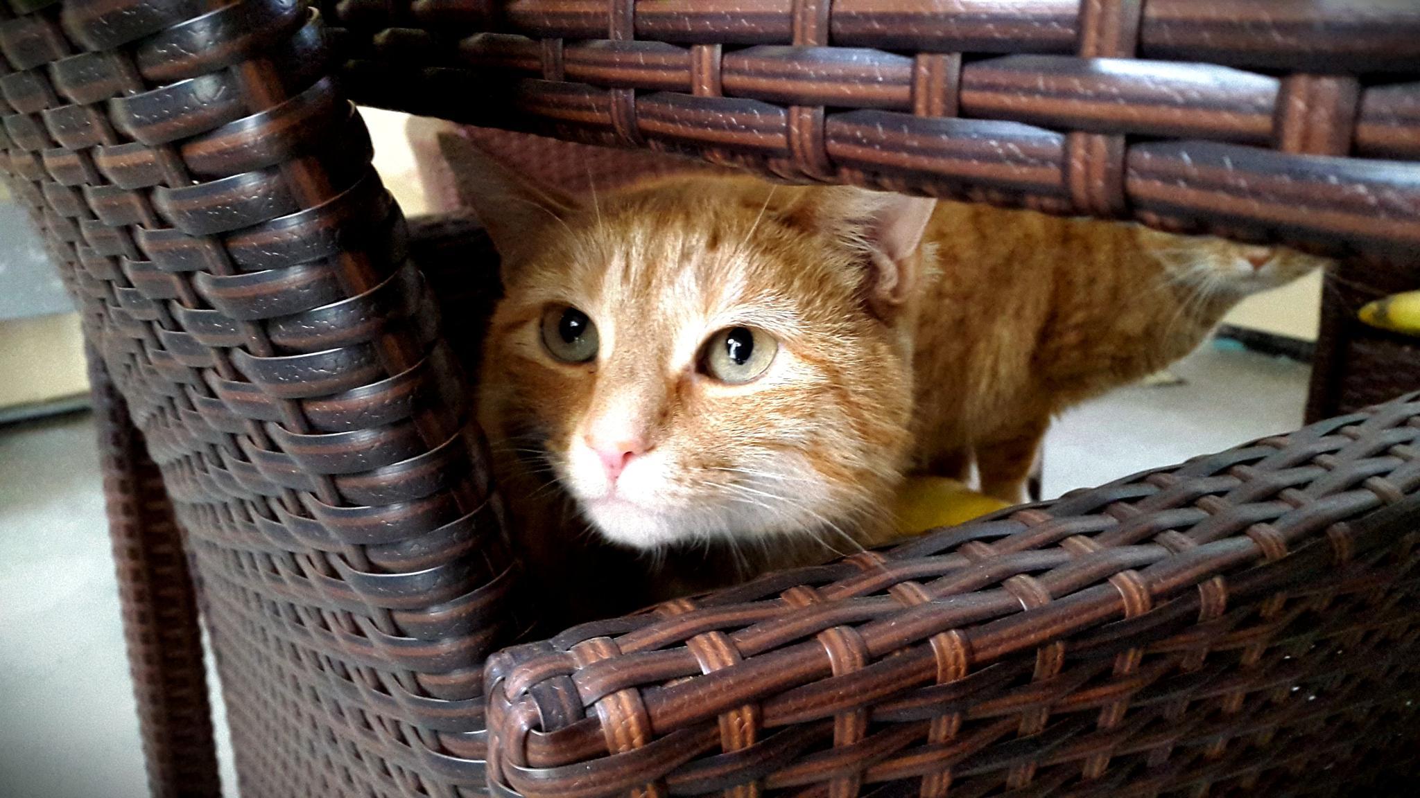 curious kitten by Chillotti Alessandro