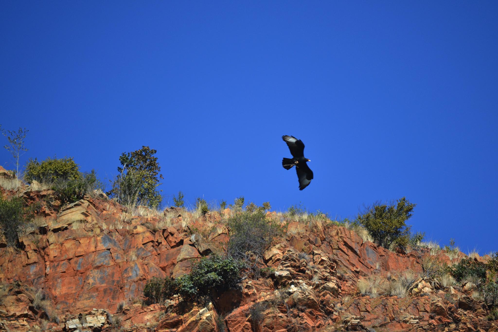 Black Eagle by MichelleL
