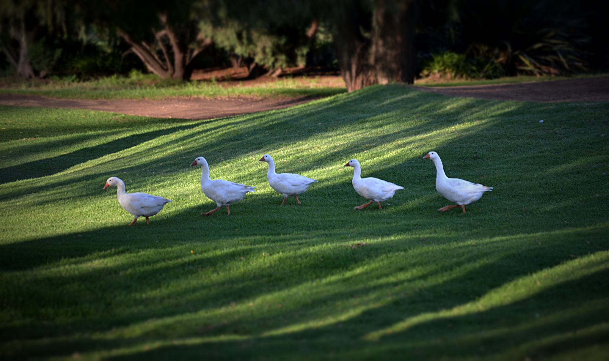 A Gaggle of Geese by MichelleL