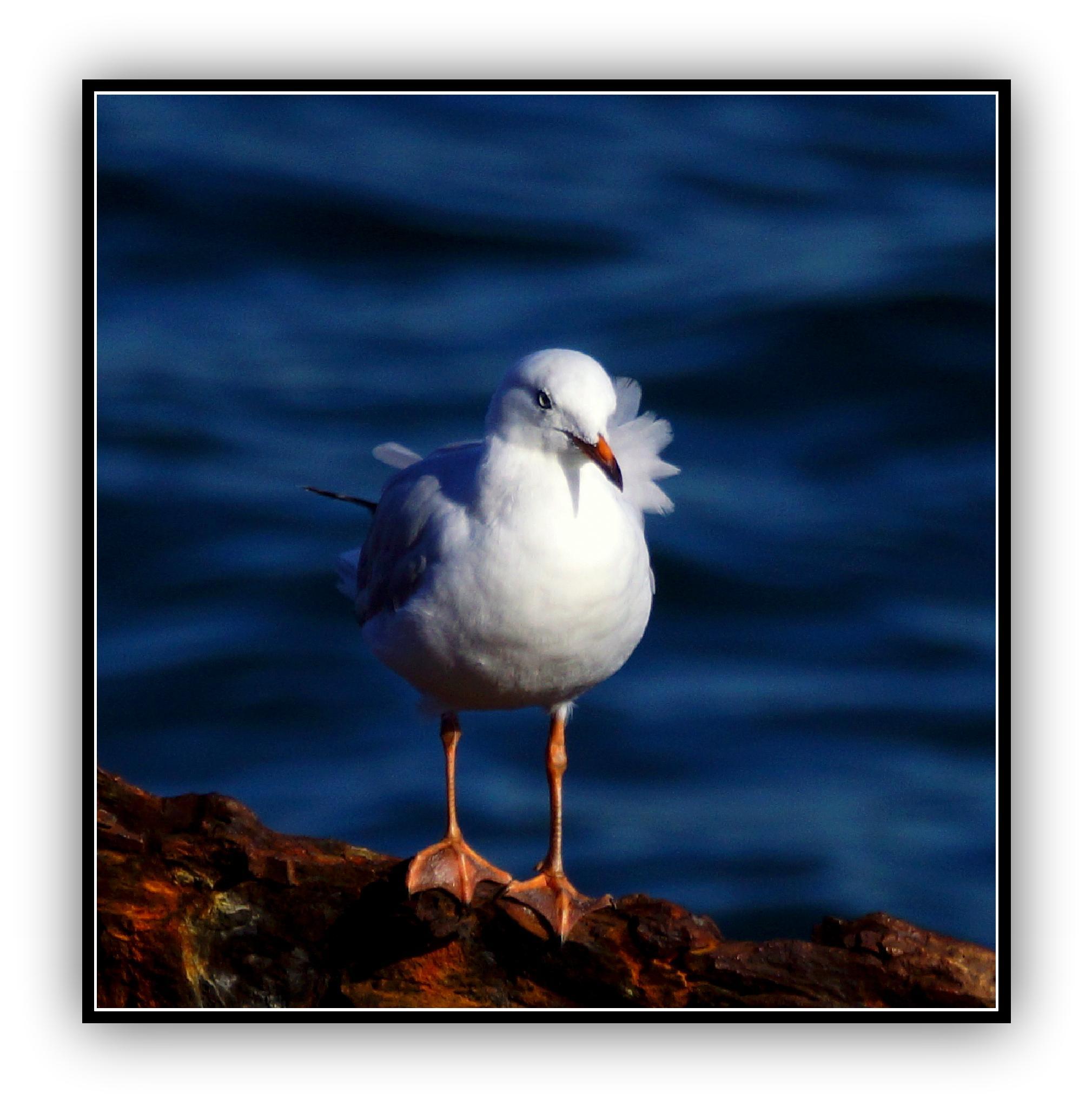Silver Gull by  Sharon McCarthy
