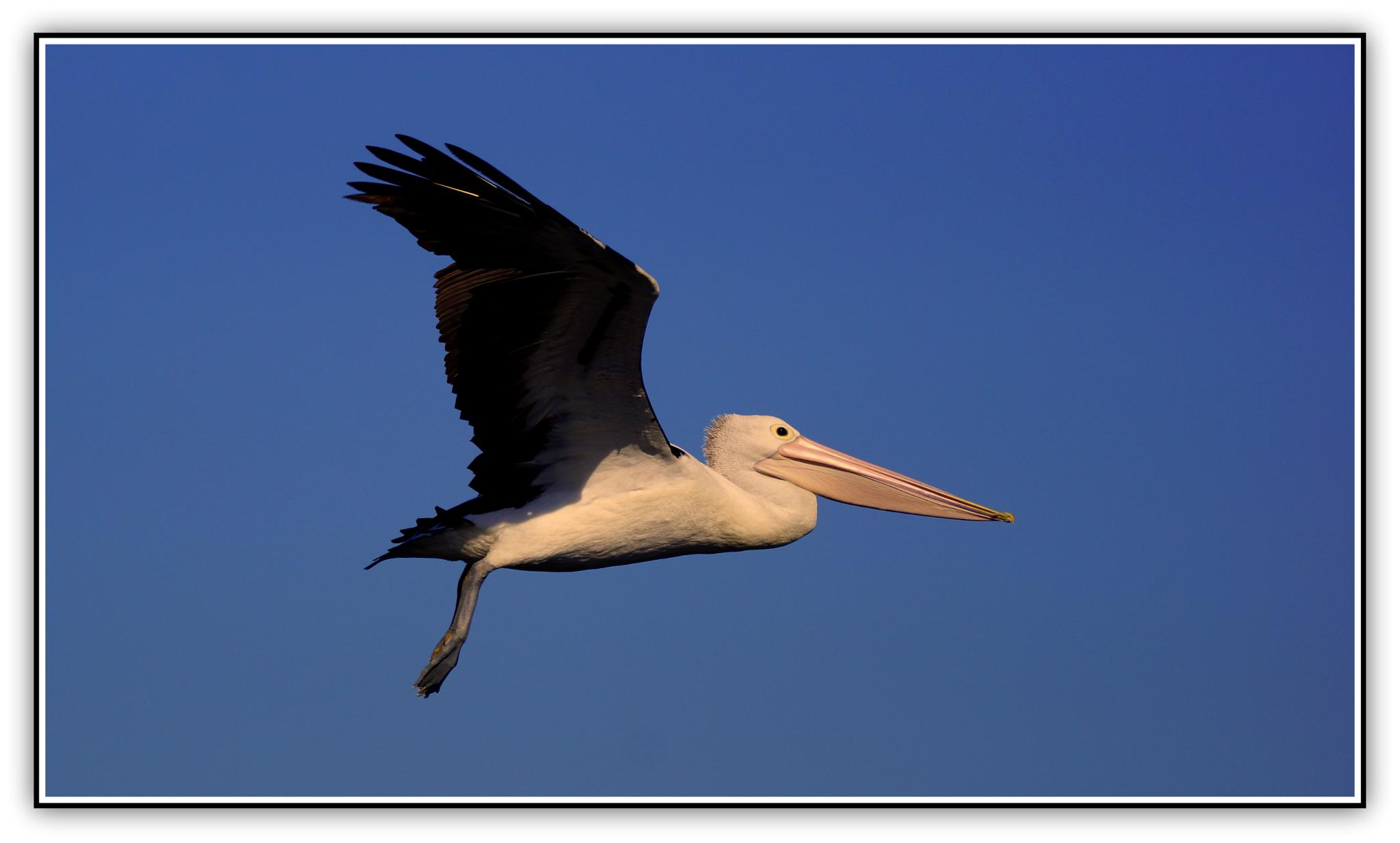 Pelican....love them. by  Sharon McCarthy