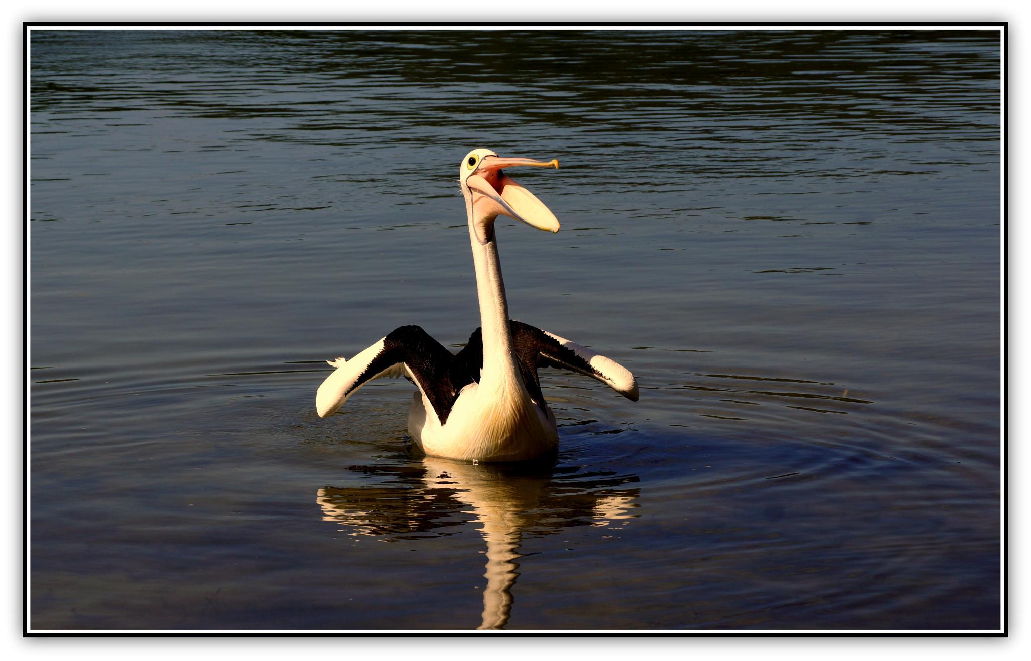 Happy Pelican by  Sharon McCarthy