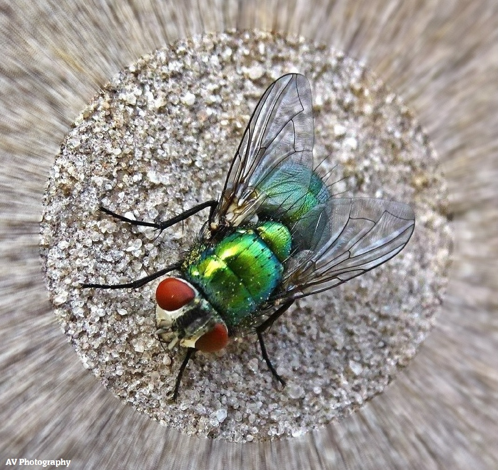 My first Fly shot..Tried to get in closer but the little bugger flew off.. by Arthur Vozzo