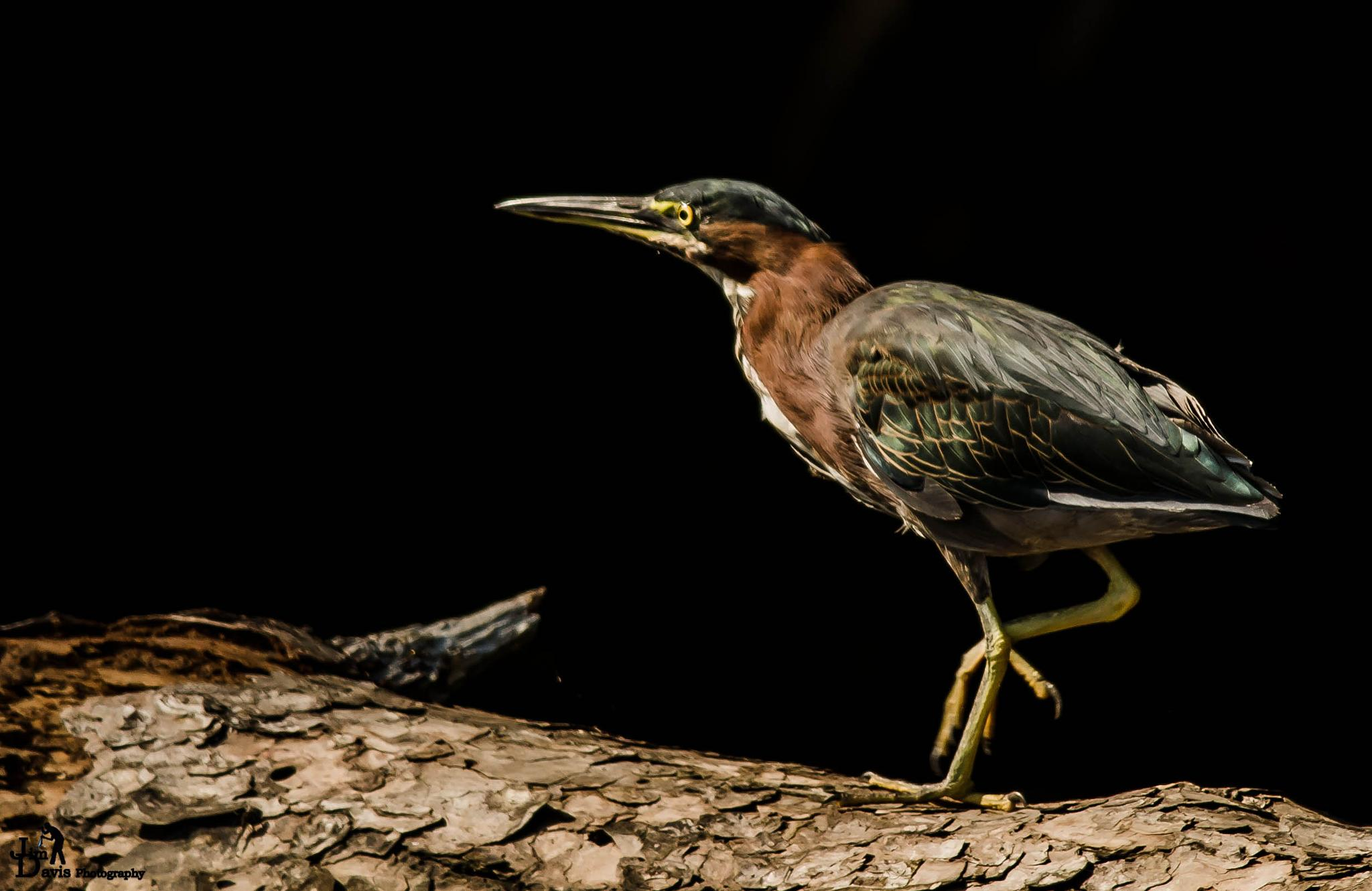 Greenback Heron by Jim Davis