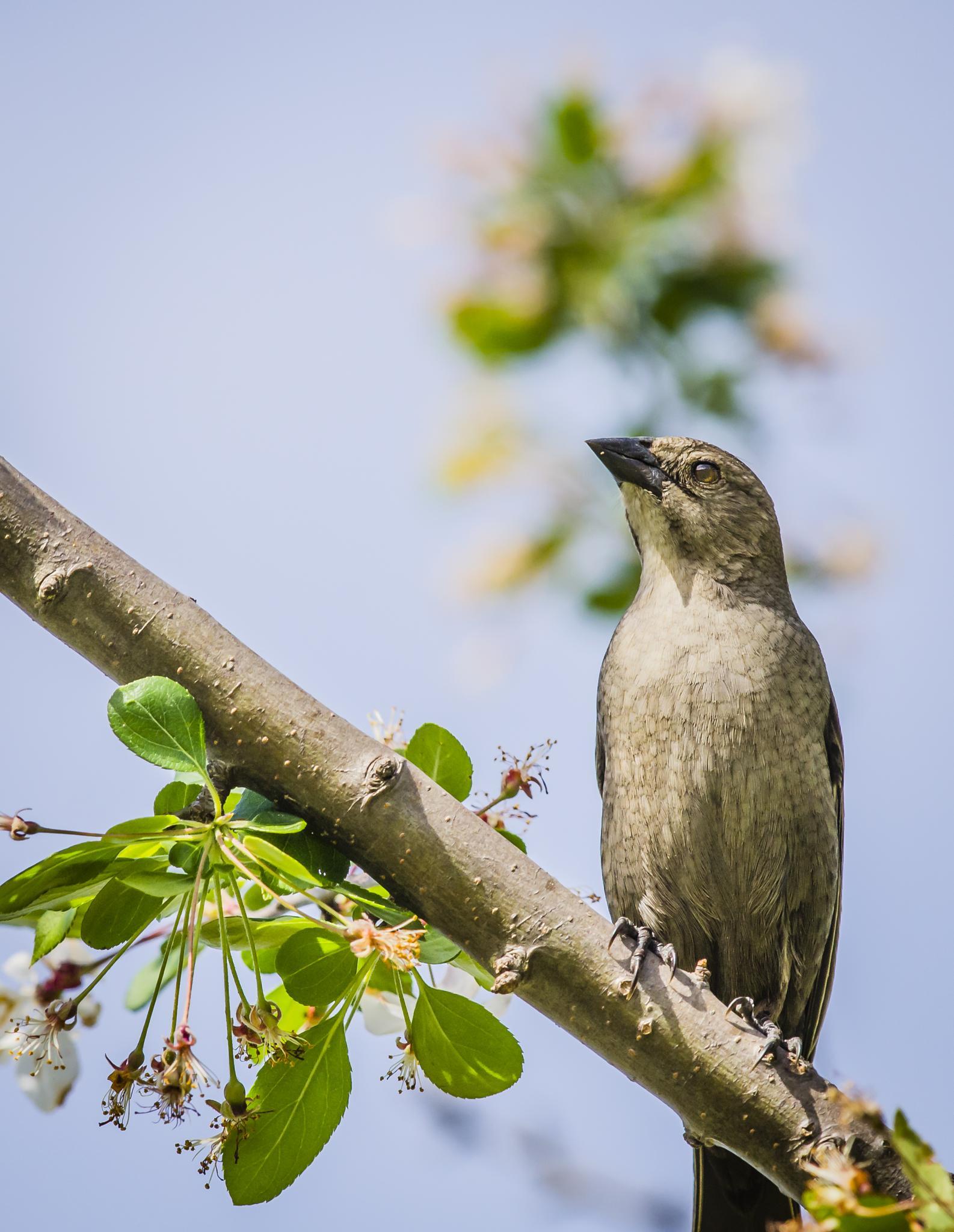 Female Cowbird by Jim Davis