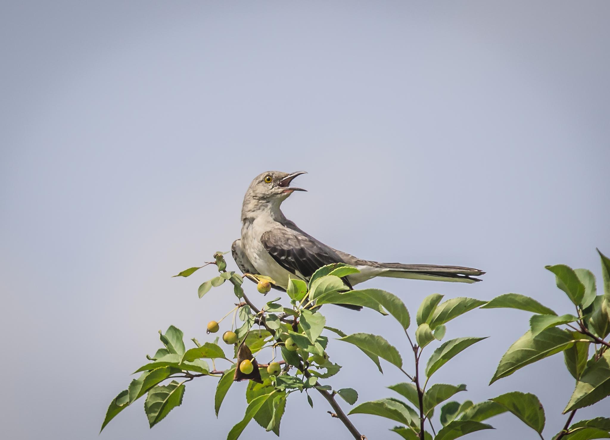 Sing Mockingbird Sing by Jim Davis