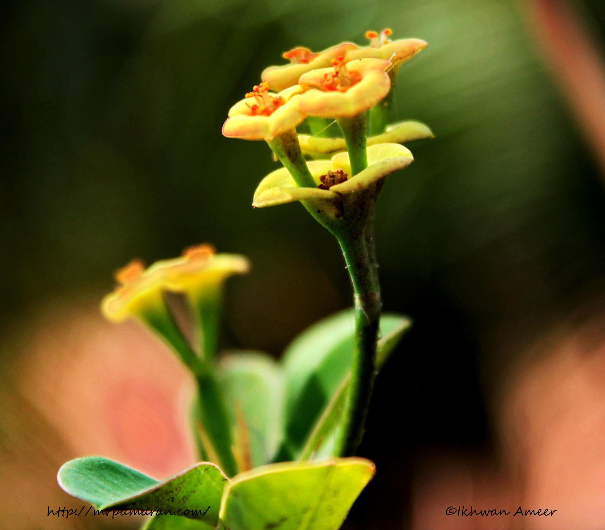 Euphorbia (Yellow) - Mini by Ikhwan Ameer