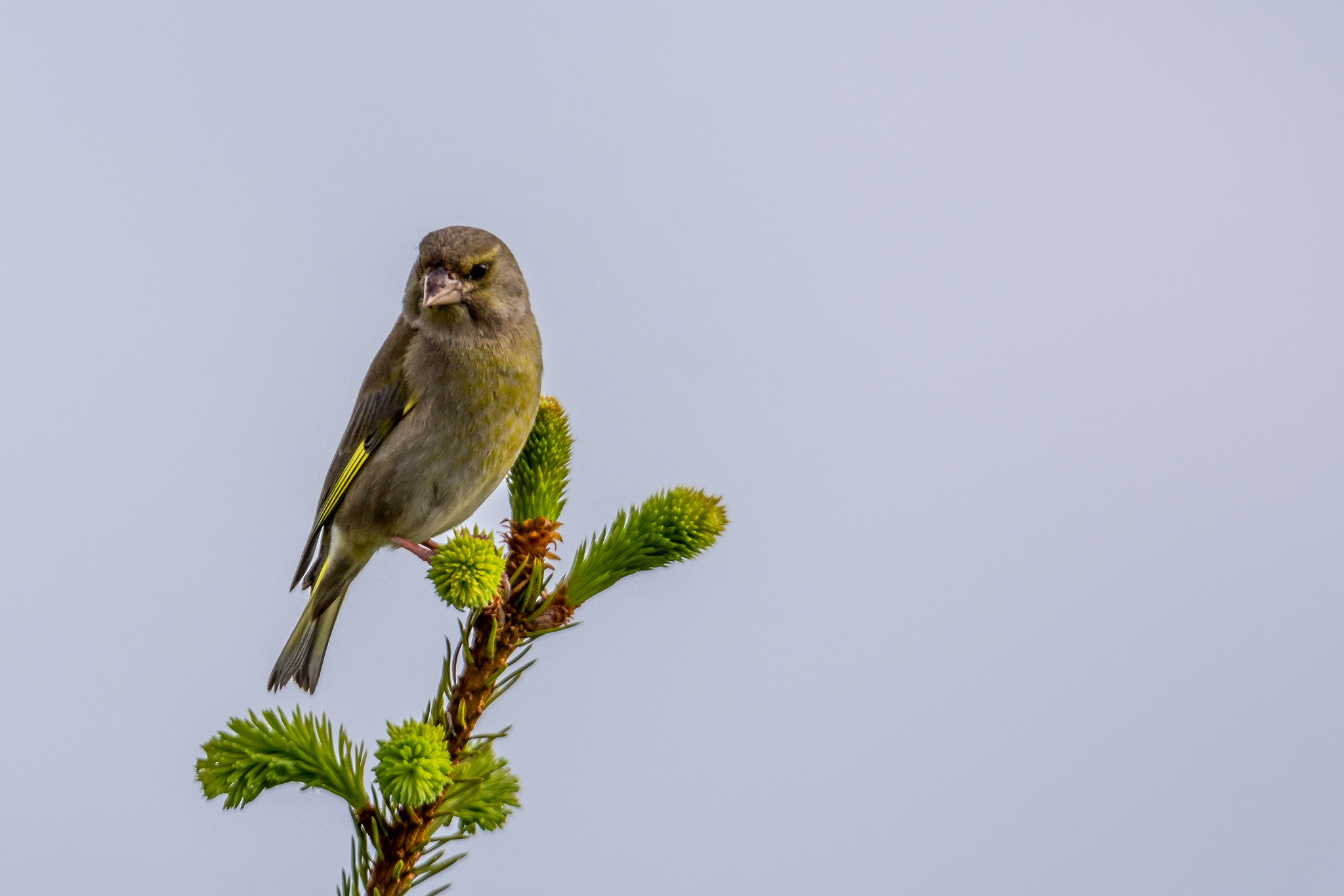 Greenfinch by Alistair Forrest