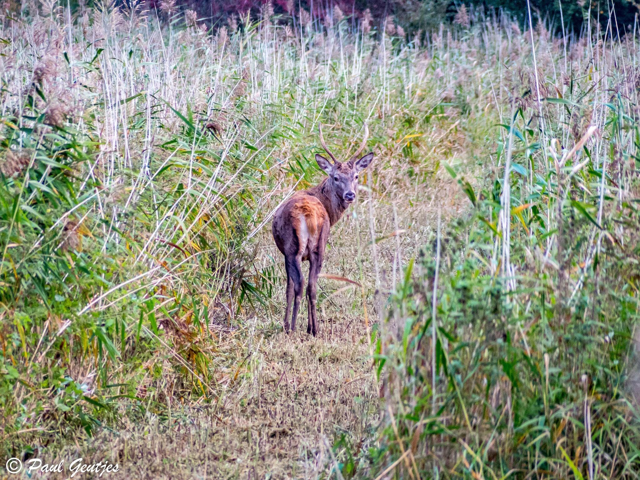 Deer  by Paul Geutjes