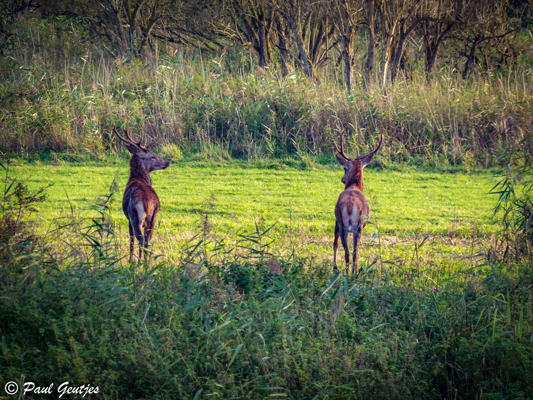 Two deer in the woods by Paul Geutjes