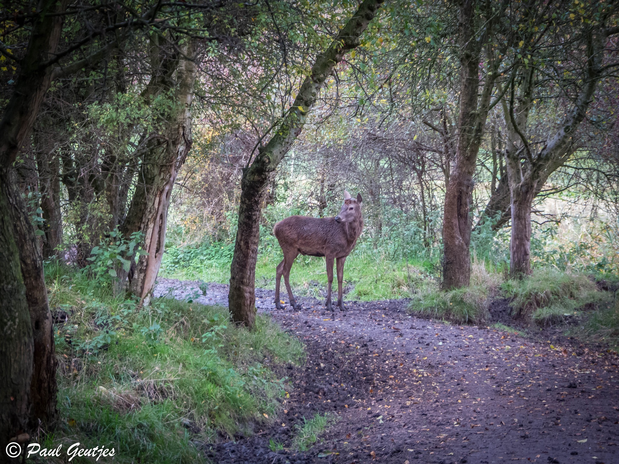 Deer in the forest by Paul Geutjes