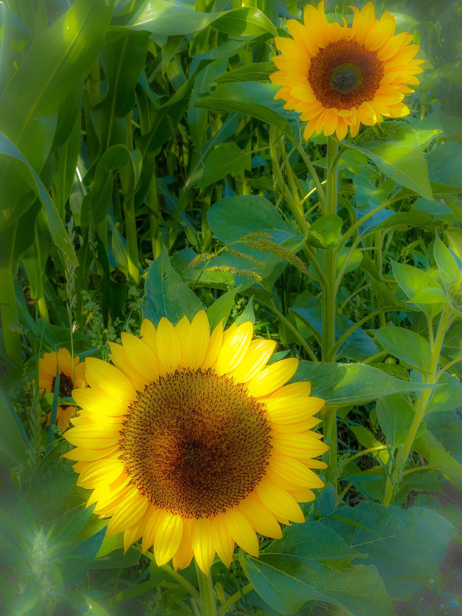 sunflowers by Paul Geutjes