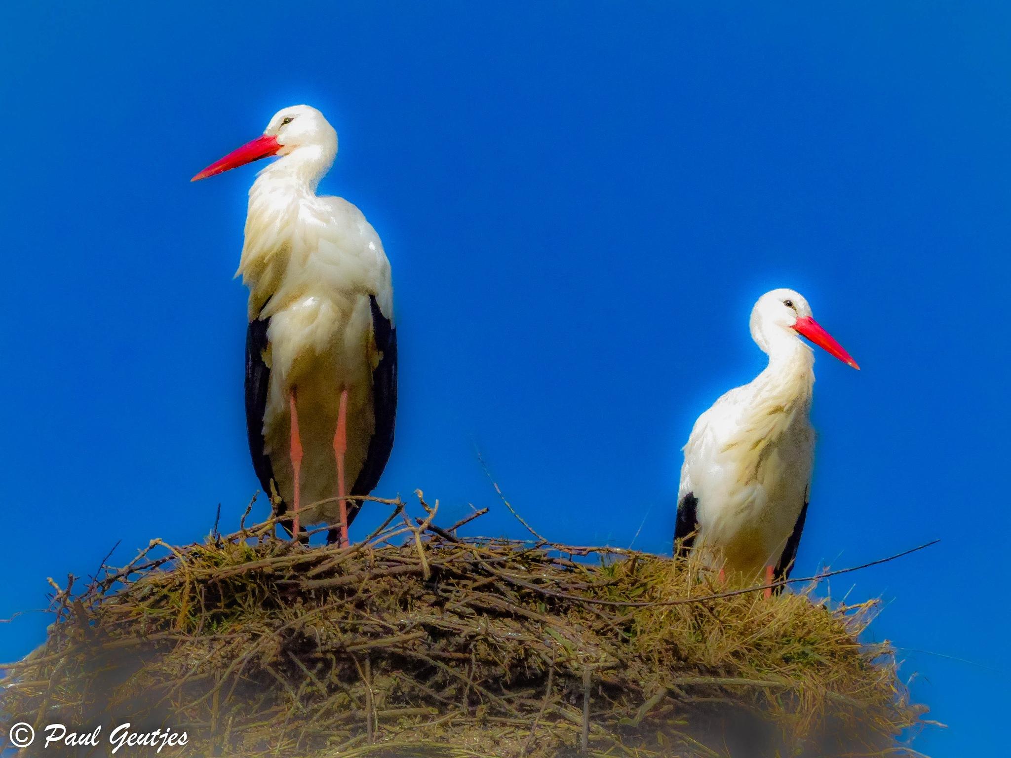 Storks 2 by Paul Geutjes