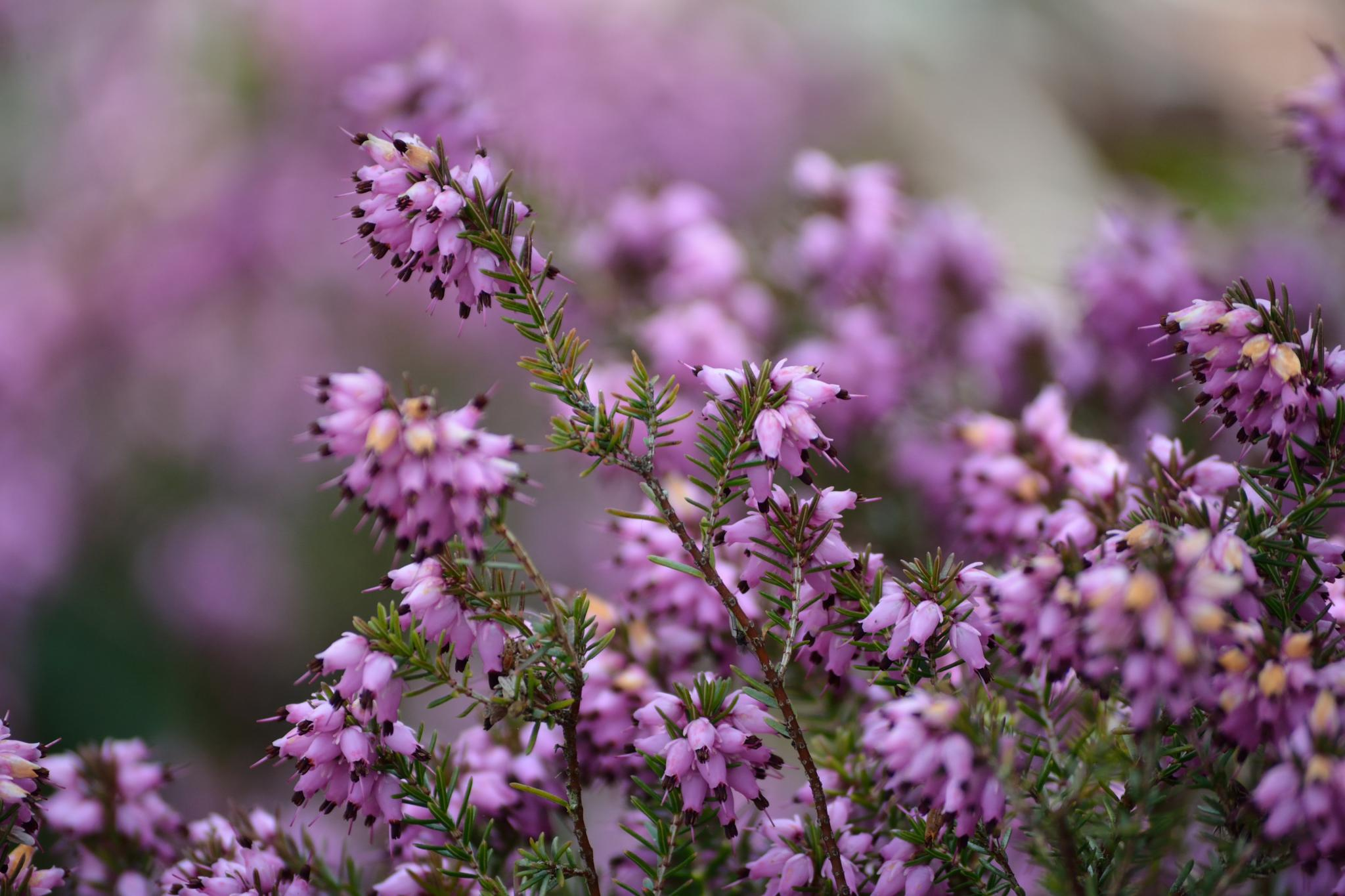 common heather by andre.belg