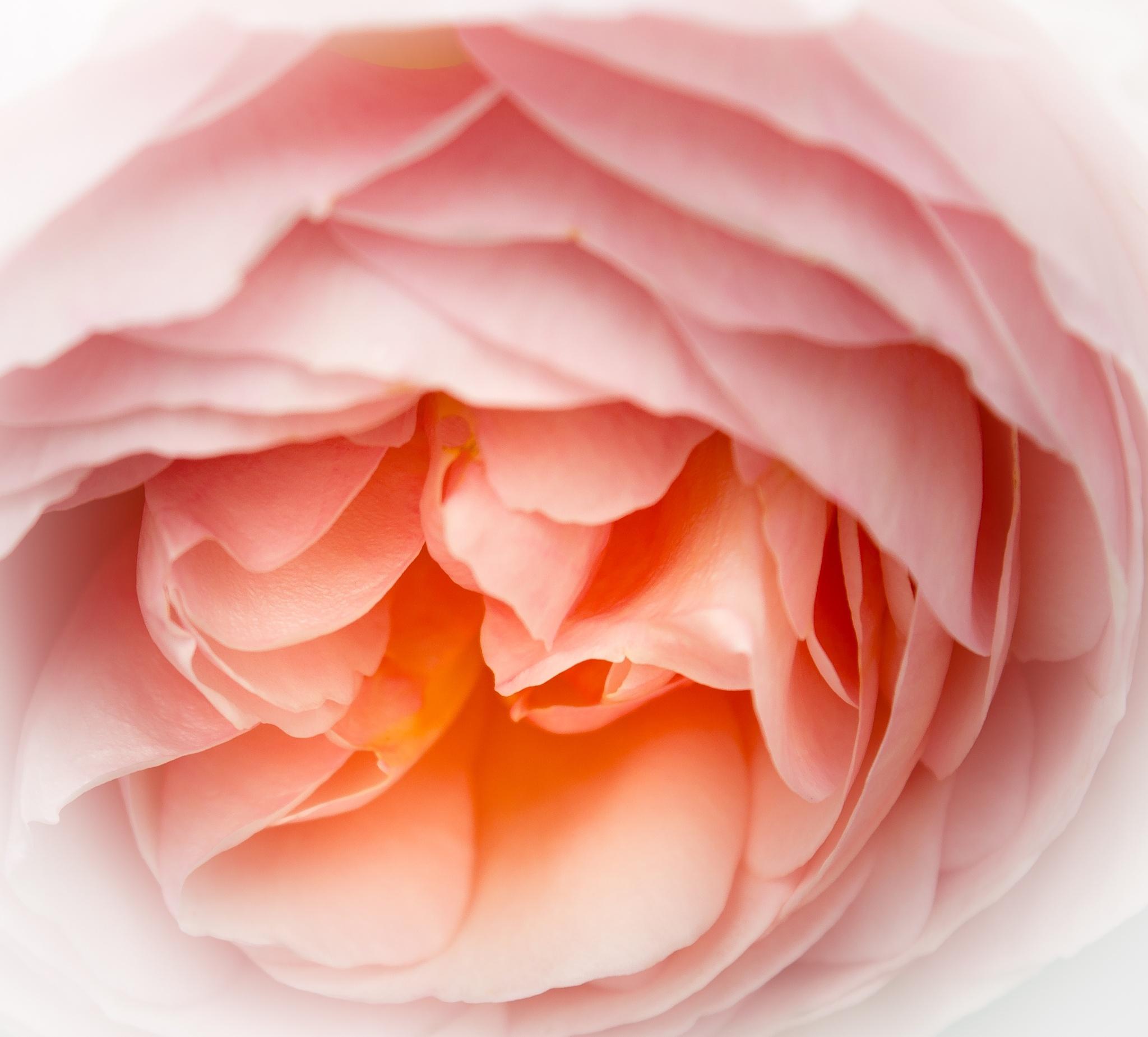 rose by andre.belg