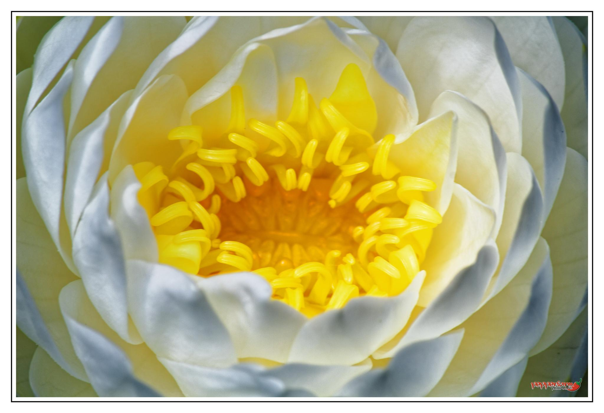 first water lily in our pond by Bram (Pepperfarm Photo-Works)