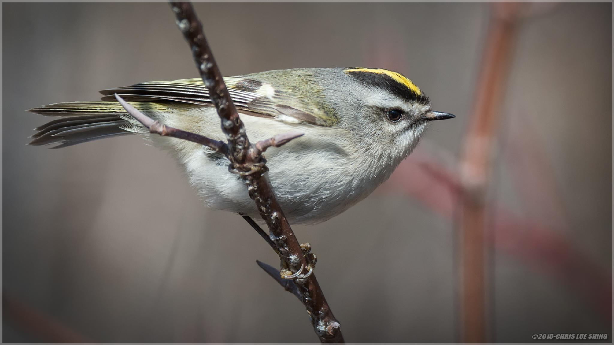 Golden-crowned Kinglet by Chris Lue Shing