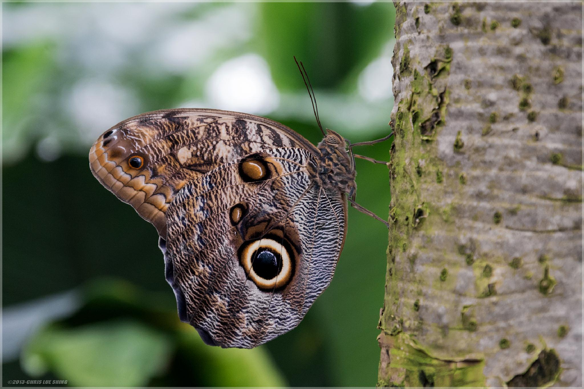 Owl Butterfly by Chris Lue Shing