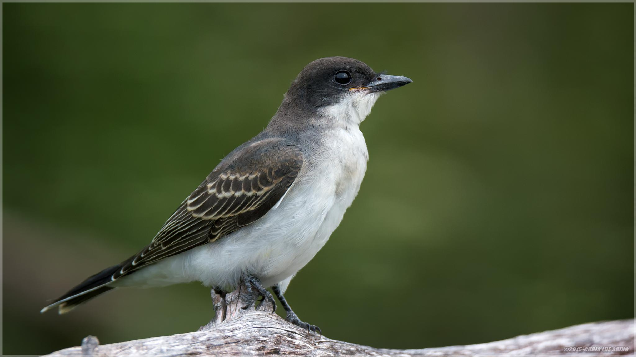 Kingbird by Chris Lue Shing