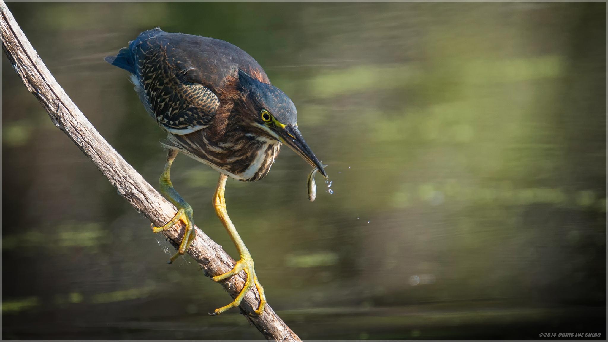Green Heron by Chris Lue Shing