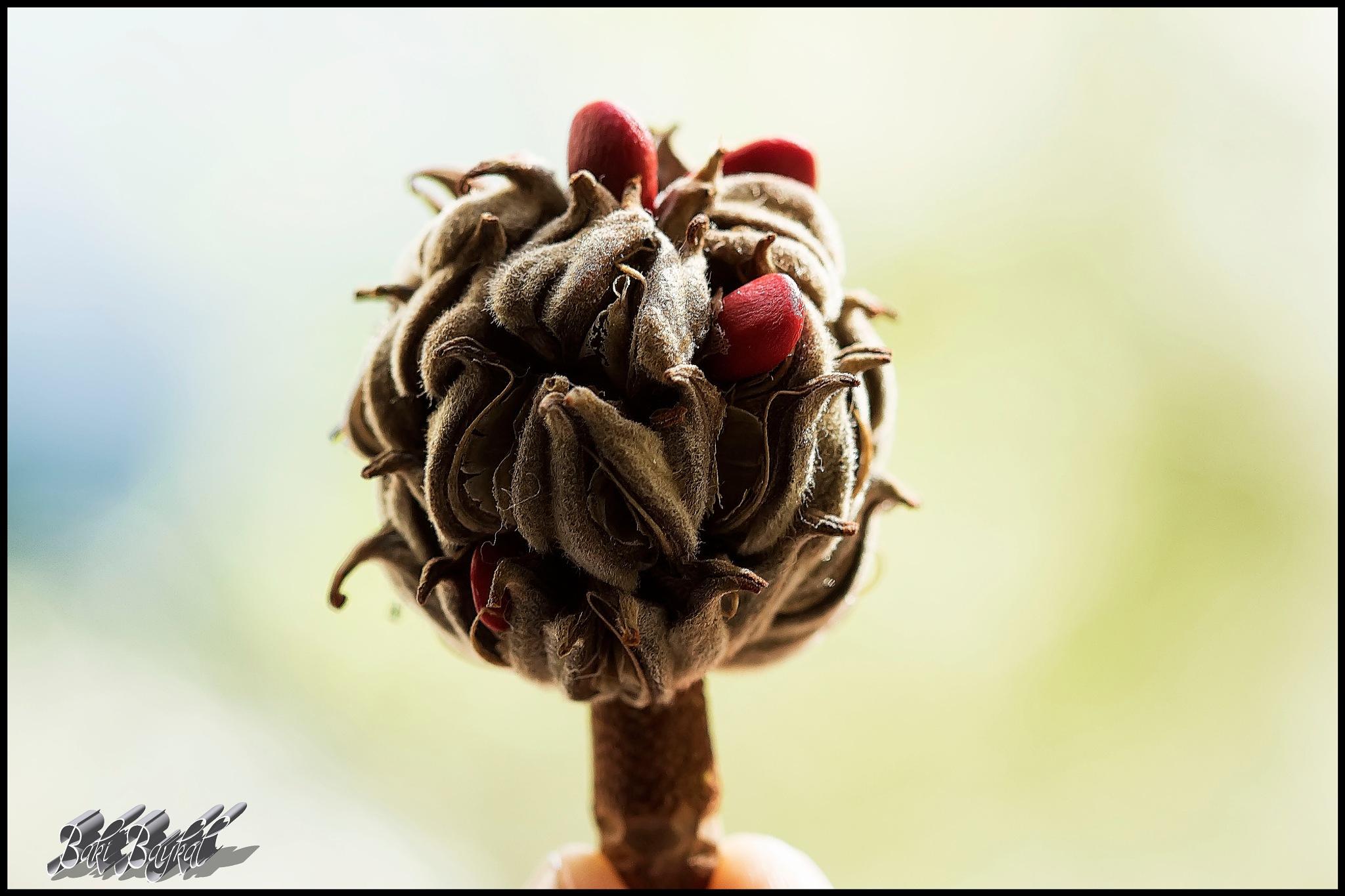 Tohum / Seed. by Baki Baykal
