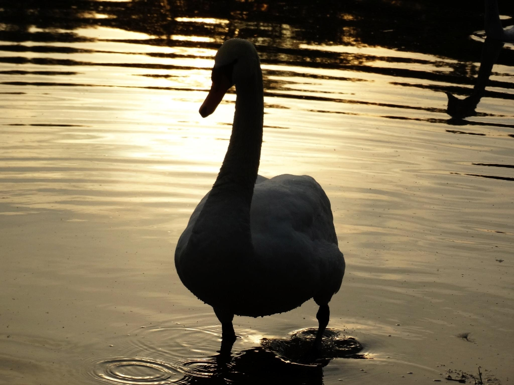 Swan by Annie_AAA