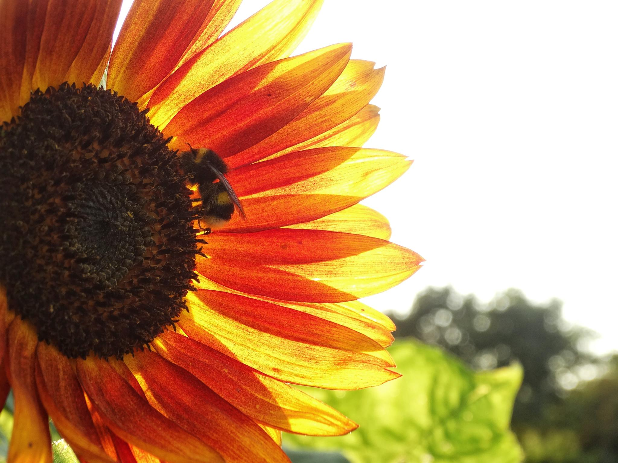 Sunflower at sunset by Annie_AAA