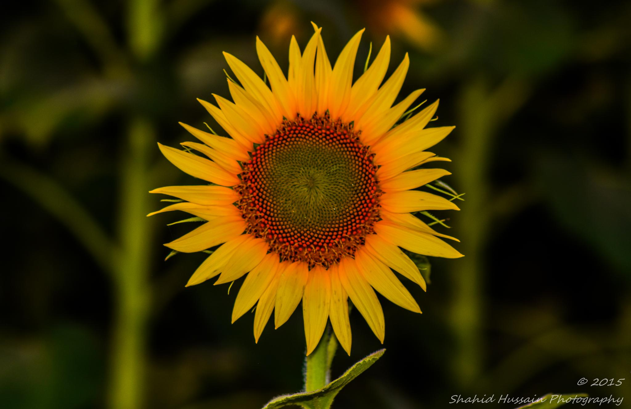Laughing Sunflower by Shahid Hussain