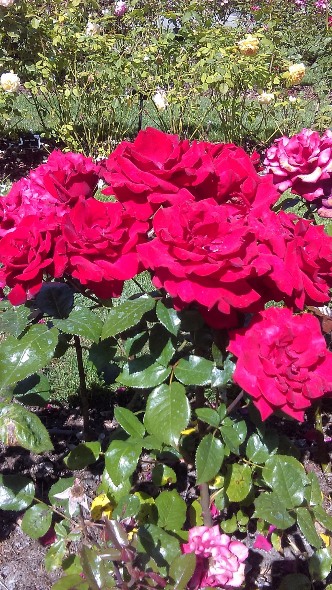 roses #6 by Elizabettvan