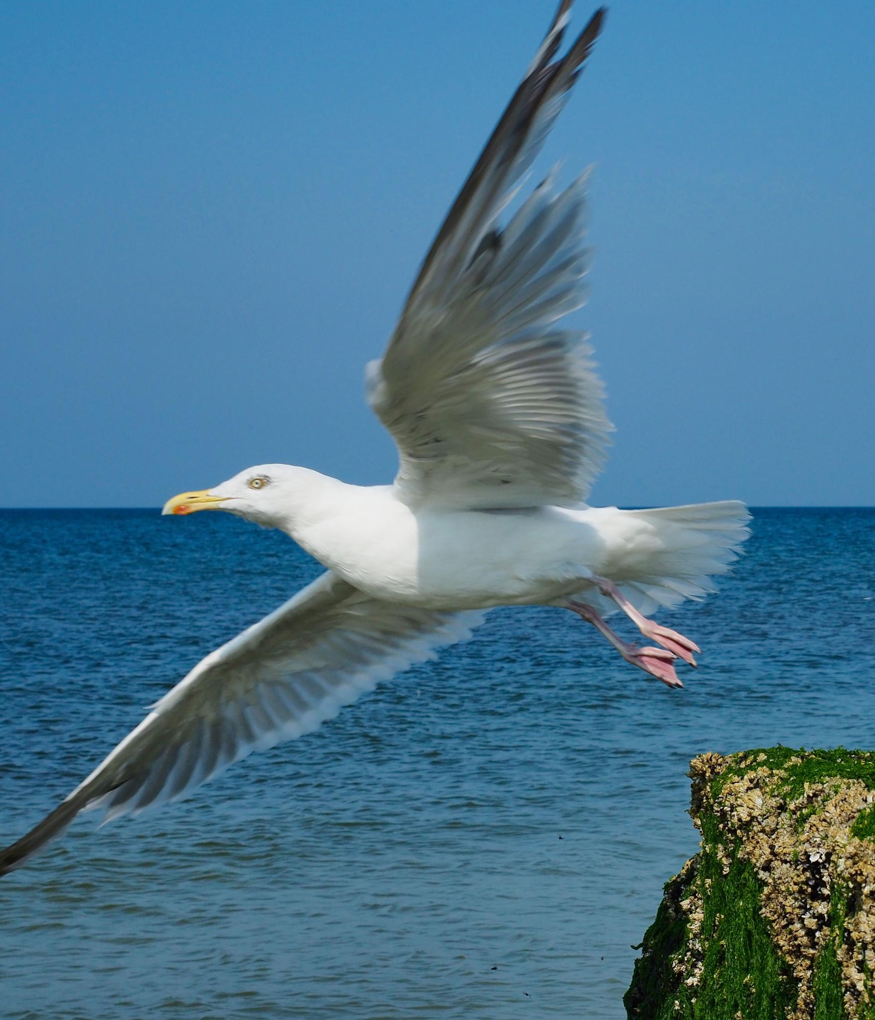 Take Off of a Seagull by henningwaschk