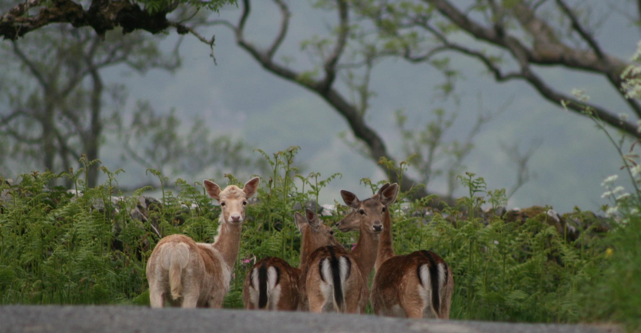 Deer on the Road by ninascotland