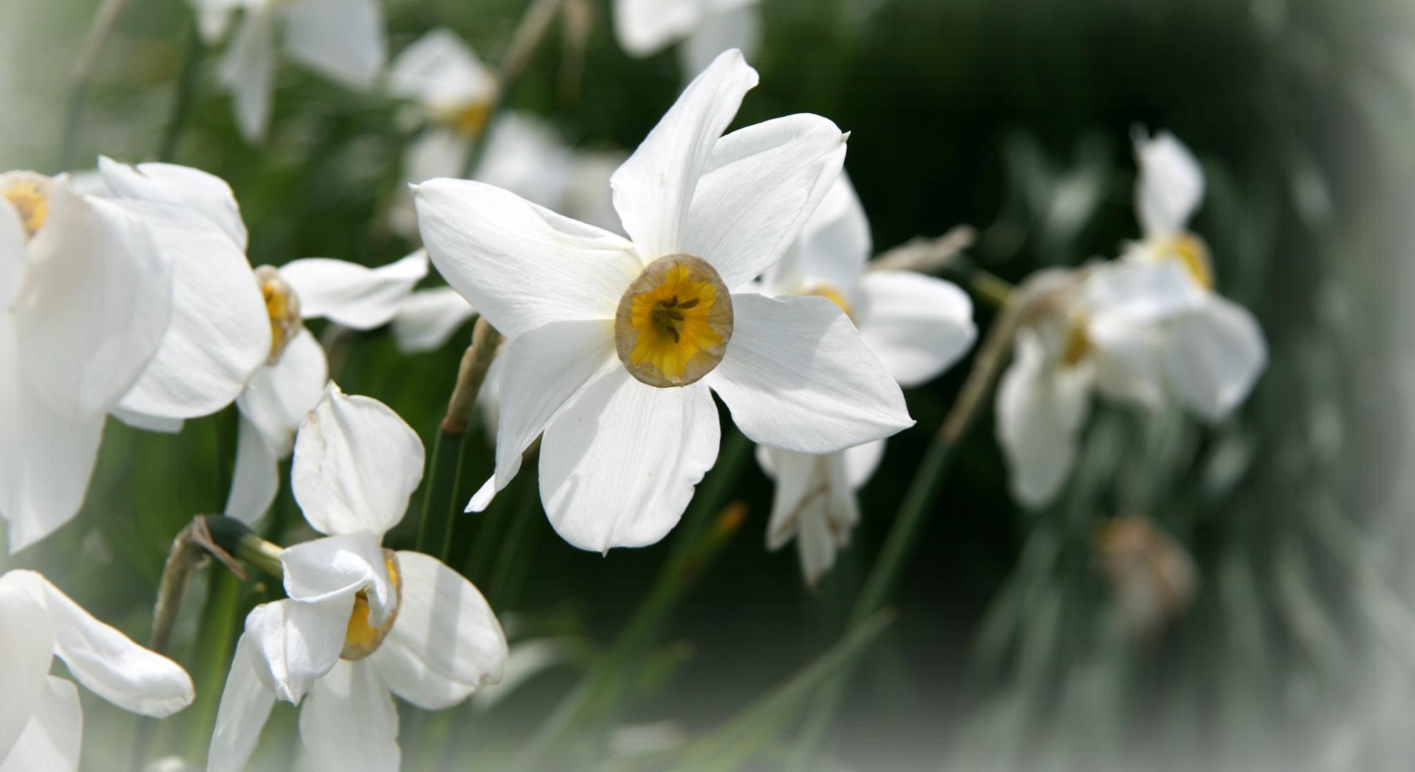 flower by ninascotland