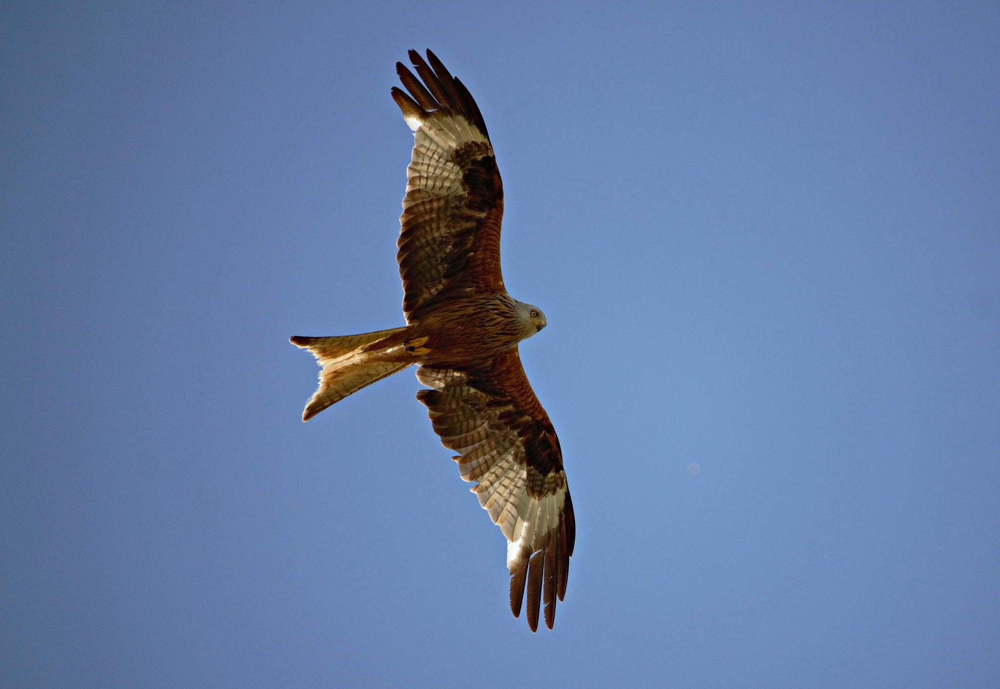 Red Kite by ninascotland