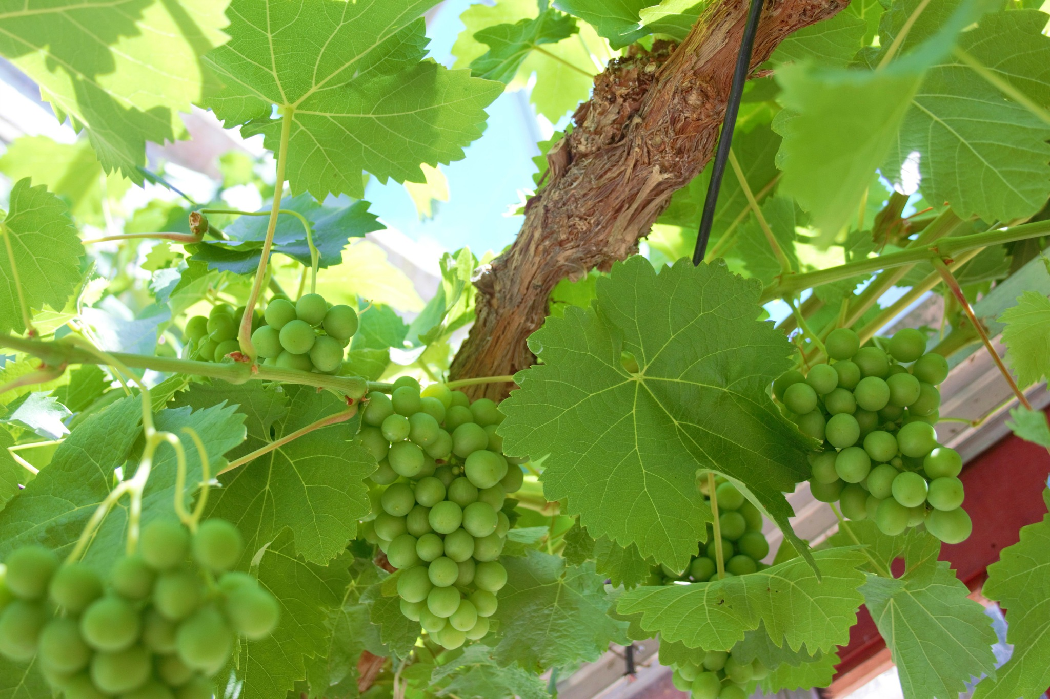 grapes on the vine in Scotland  by ninascotland