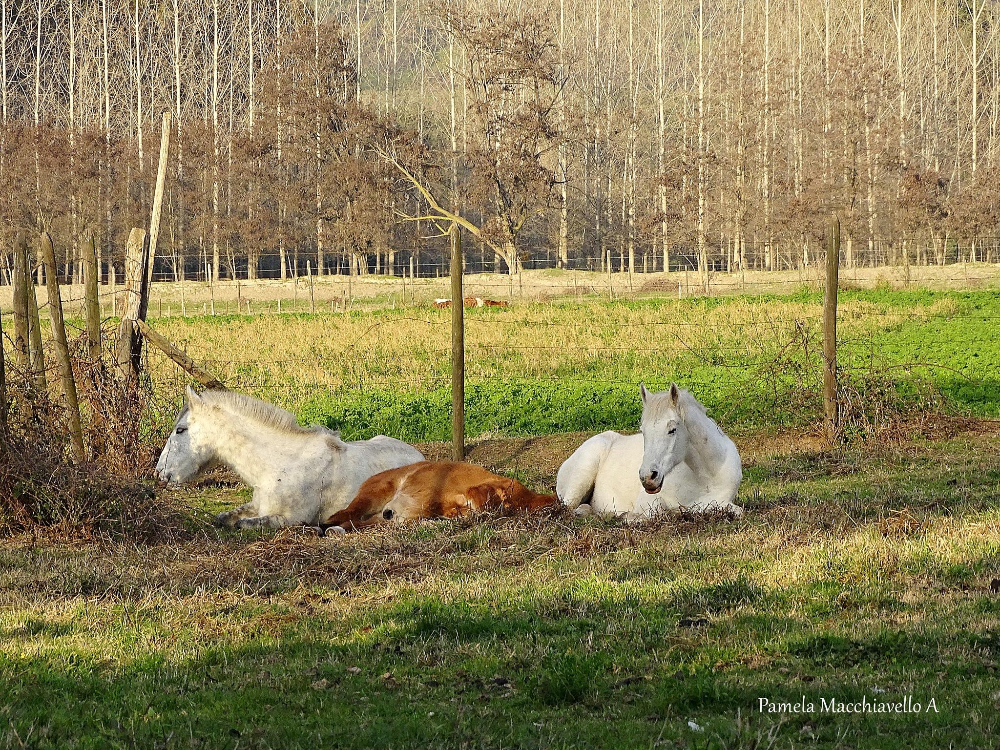 Horses resting by Pamela Macc