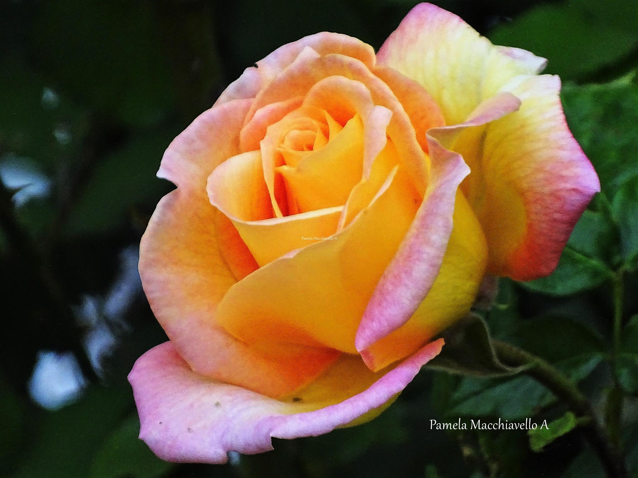Rose by Pamela Macc
