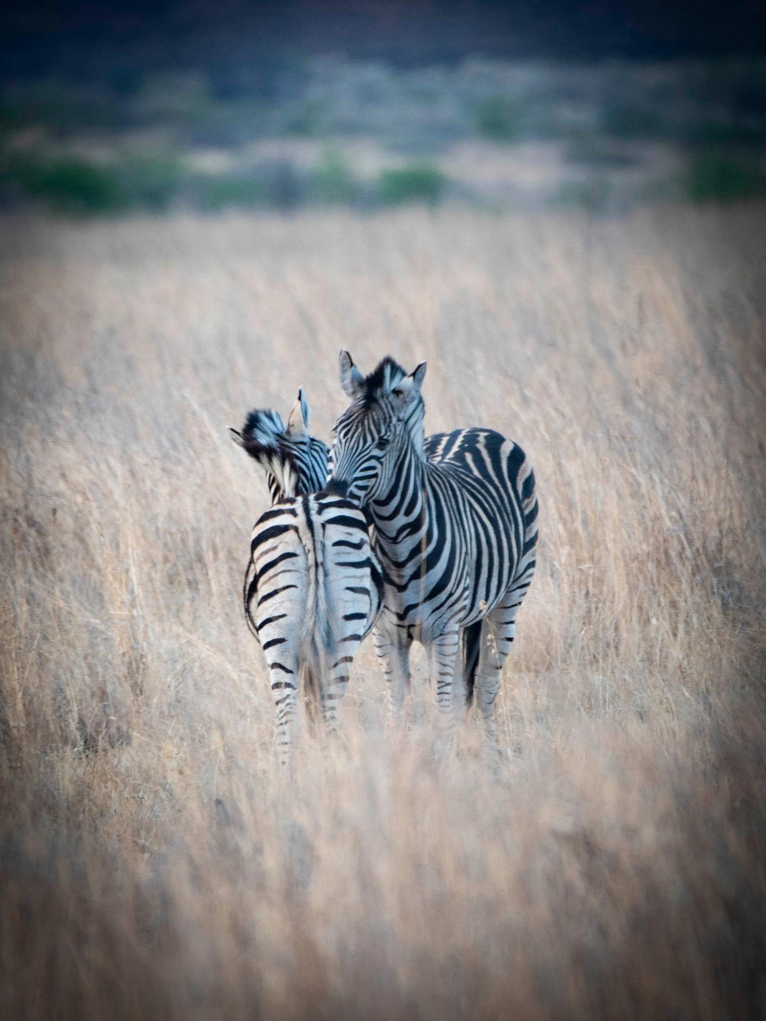 zebra's by Joop Bruurs