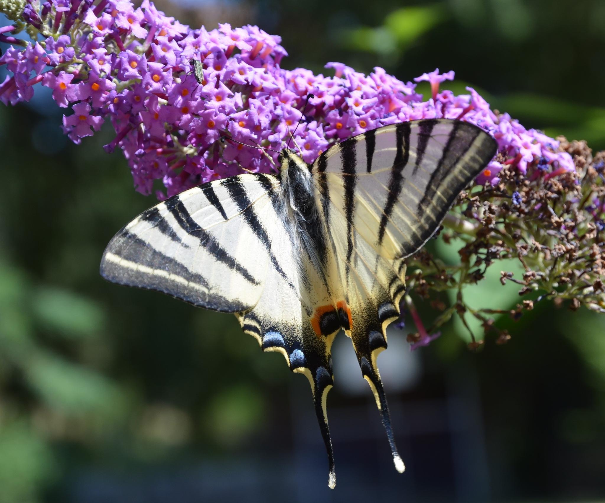 Butterfly by franky.decruw