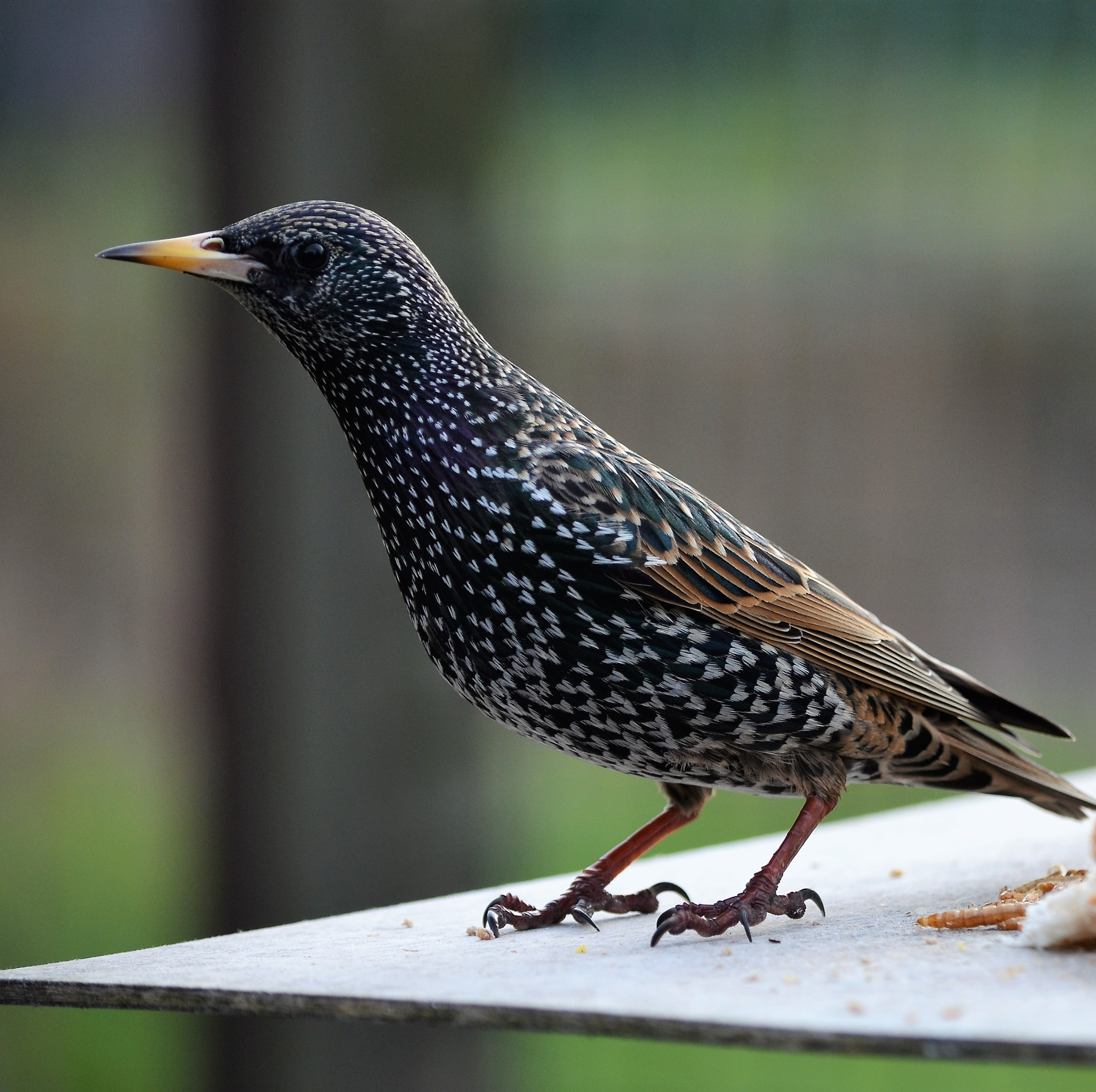 starling at the birdfeeder by franky.decruw