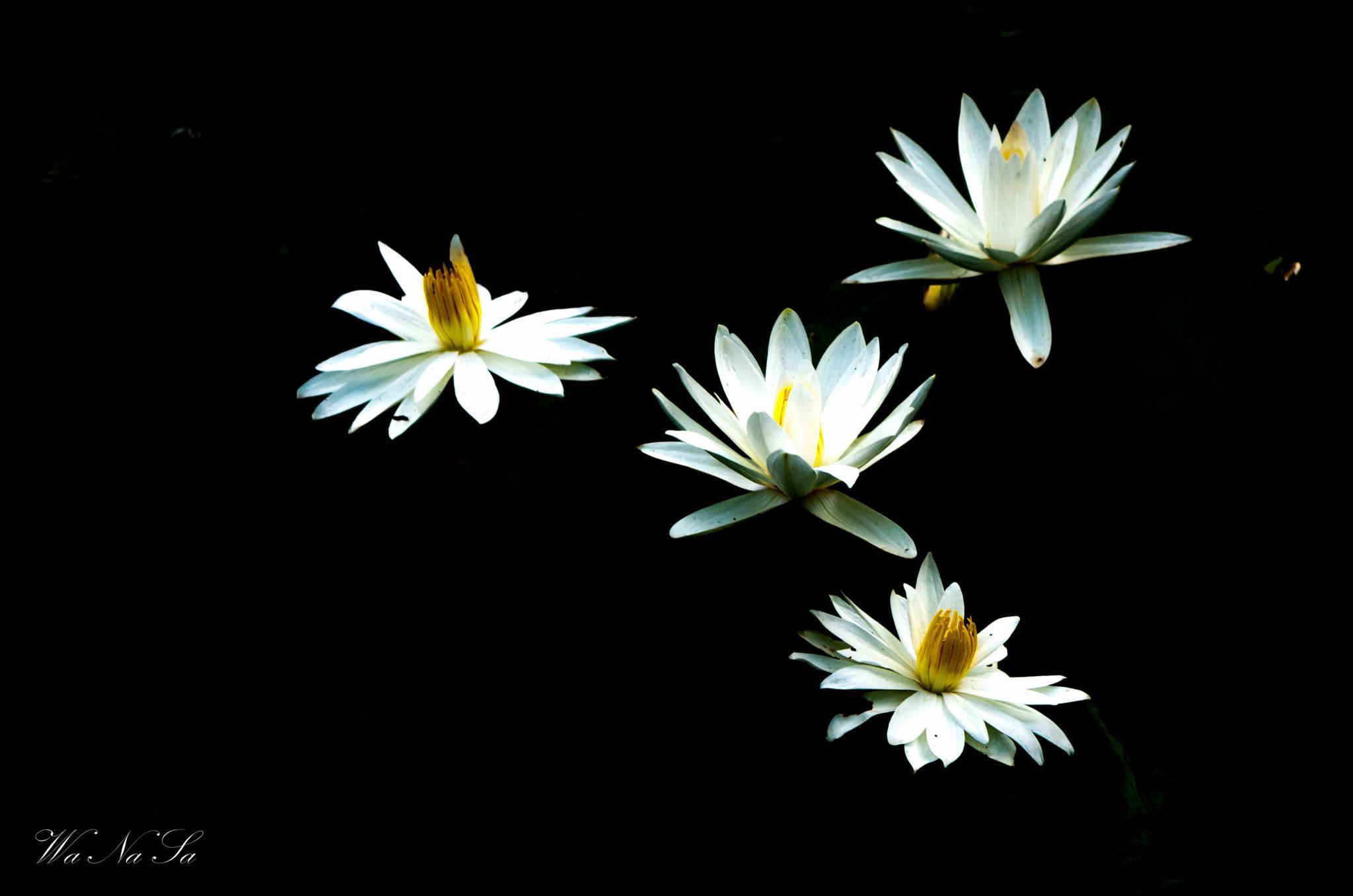 #lotus by WaNaSa