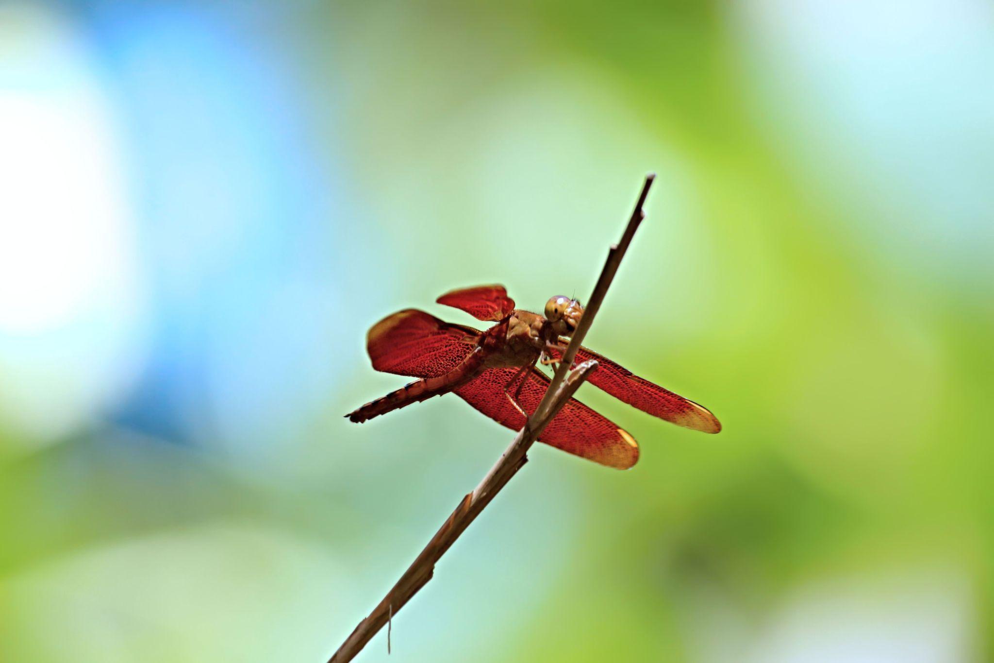 Dragonfly by Daniel Chowdhury
