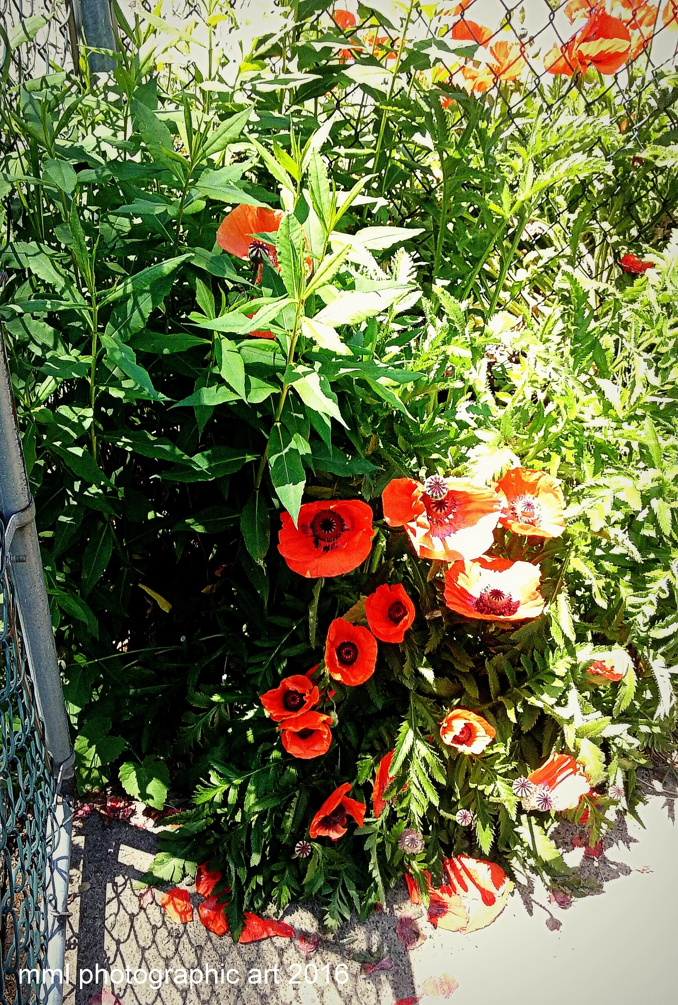 Poppies ... Poppies ... Poppies ...  by Mark Morrison-LeMay