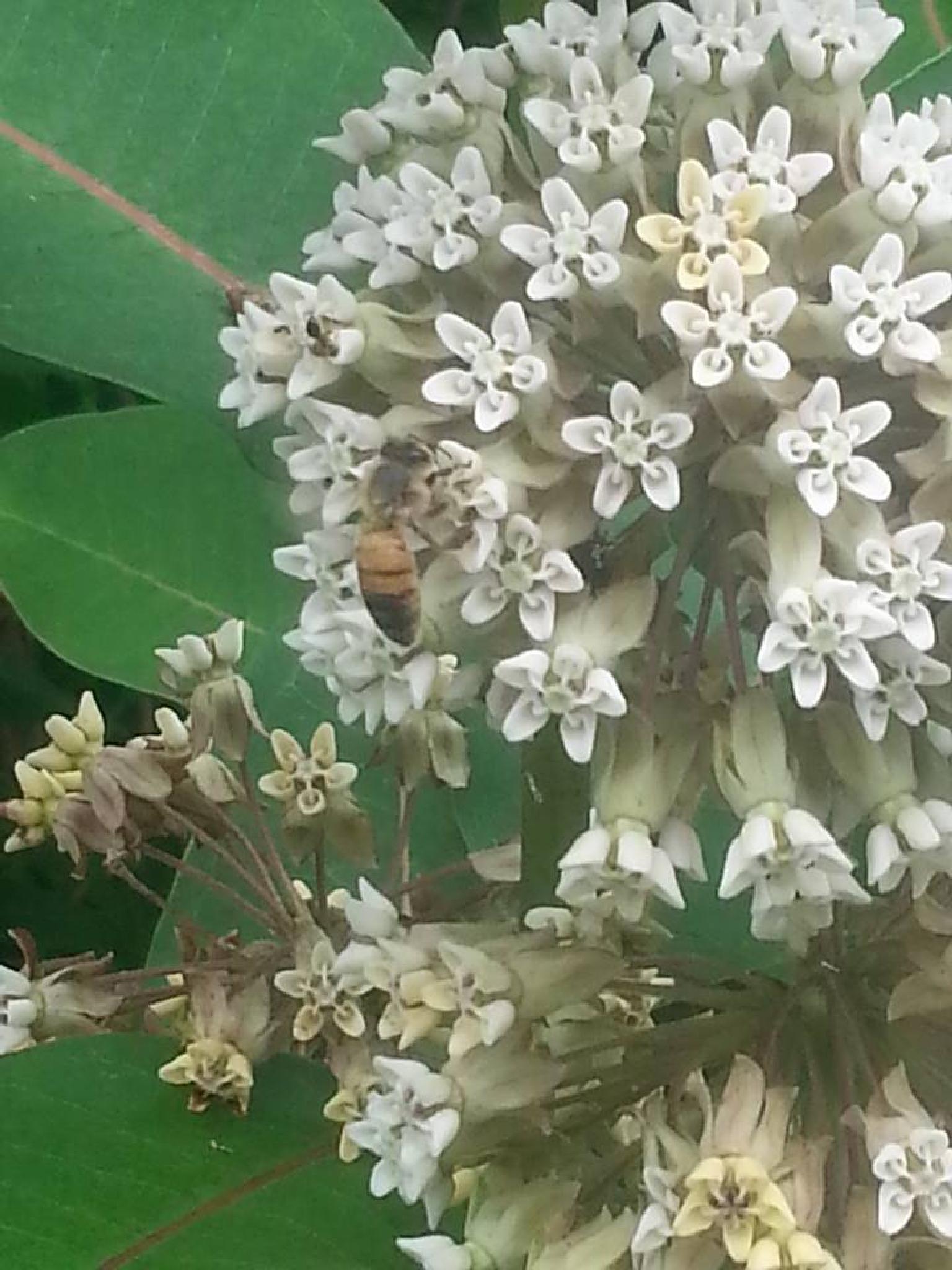 Bee On Mildweed by Mark Morrison-LeMay