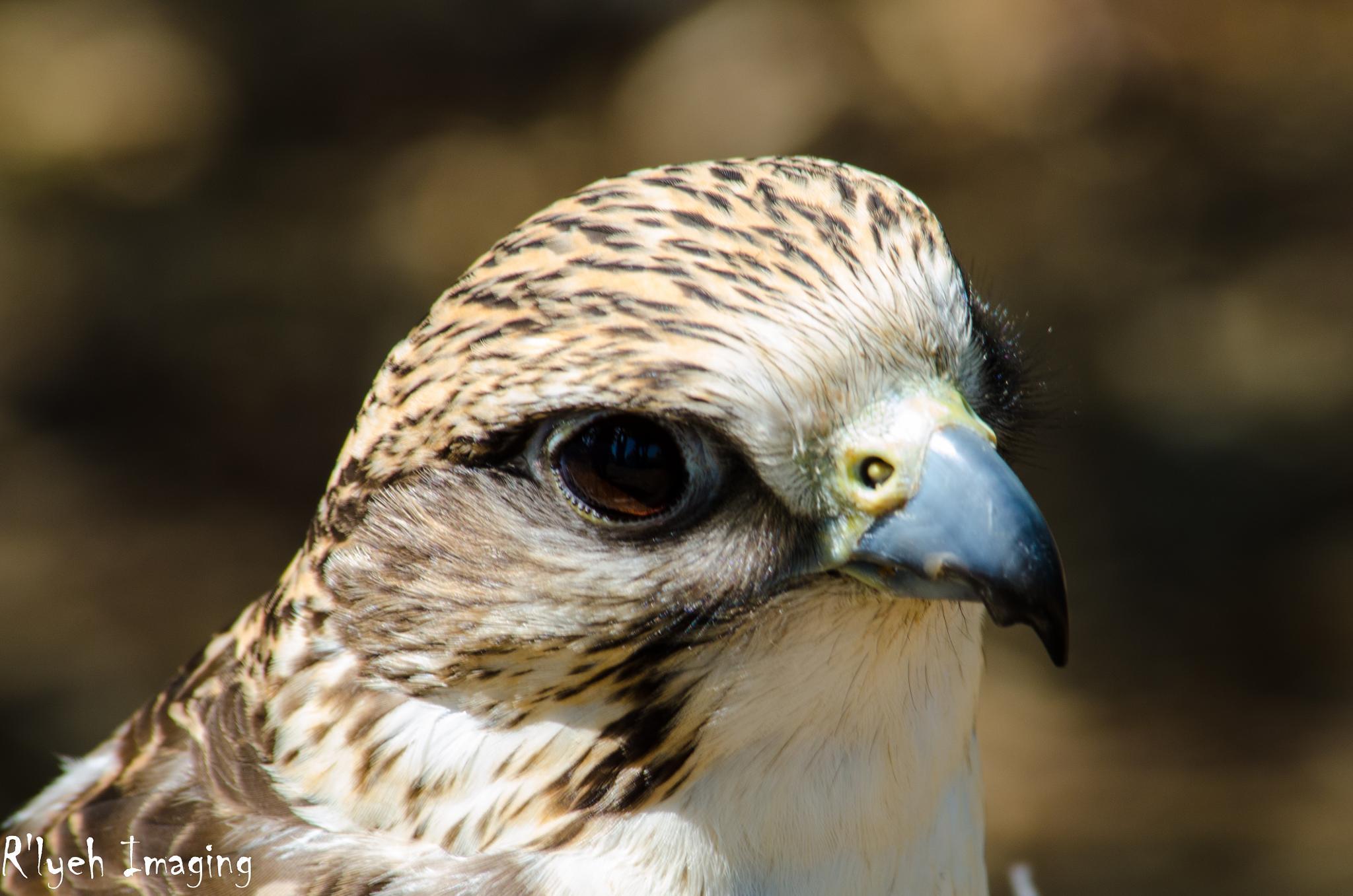 hawk by R'Lyeh Imaging