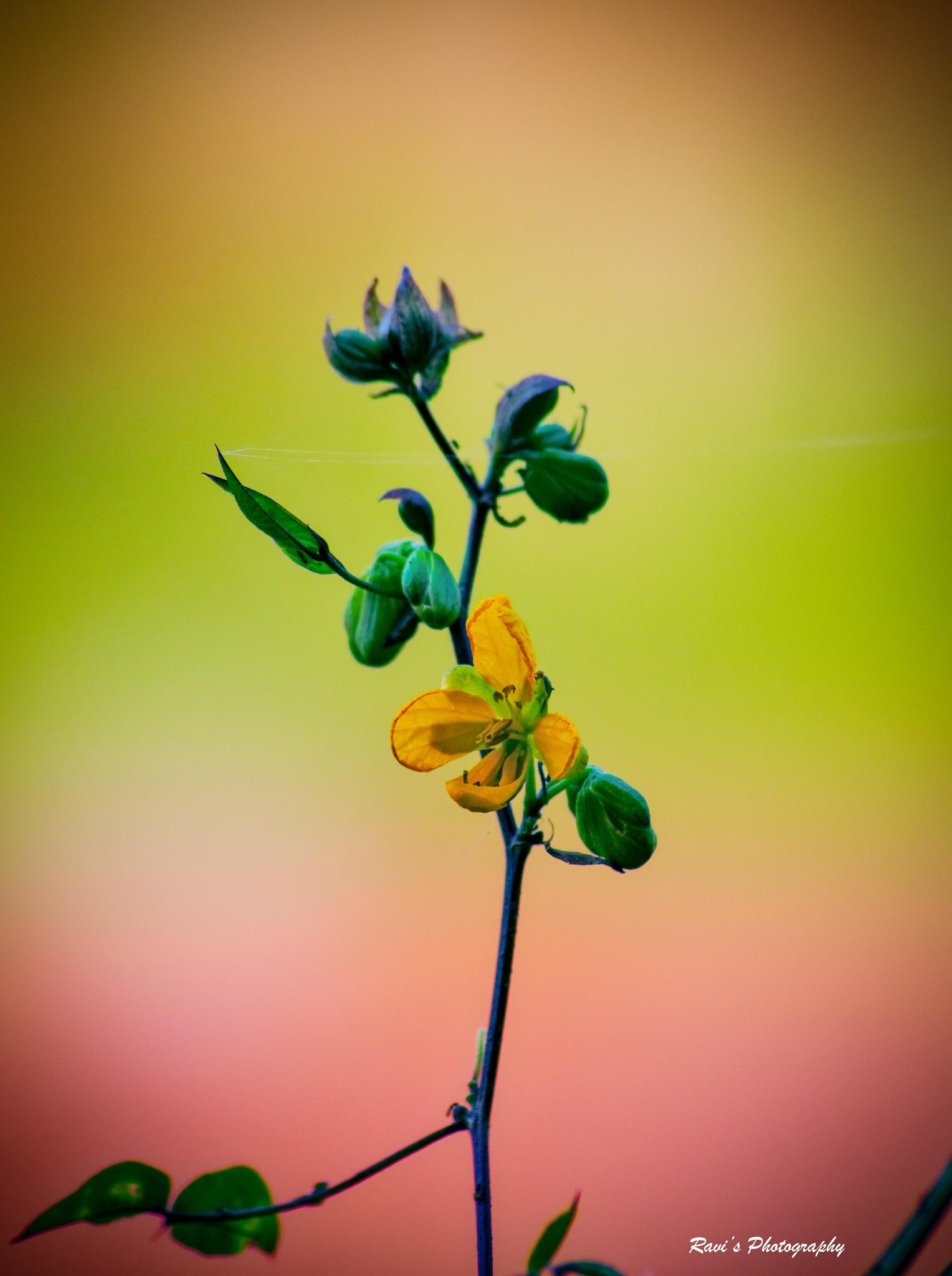 Flower by Ravi